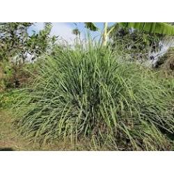 LEMON GRASS 10 ML
